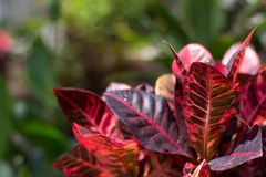 Canna tropical Imagem de Stock Royalty Free