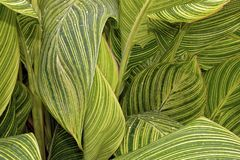 Canna Tropicanna Lily. Leaves stock images