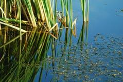 Canna verde in lago fotografia stock libera da diritti
