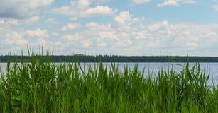 Canna verde vicino al fiume Fotografia Stock
