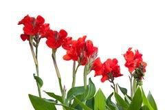 Canna vermelho Imagem de Stock