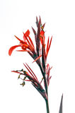 Canna vermelho Indica Fotografia de Stock Royalty Free