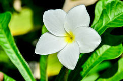 Canna. White cannna flower in graden stock photo