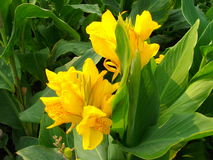Canna yellow humbert Stock Images