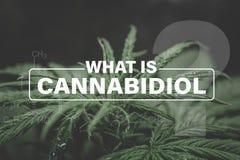 Cannabidiol CBD惯例,大麻植被植物,大麻叶子,大麻CBD,印度增长的大麻,背景绿色 库存图片