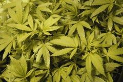 cannabisöverkanter Arkivbild