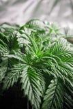 Cannabis Stock Afbeeldingen