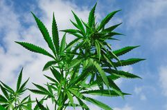 Cannabis. Bright green cannabis plant against blue sky Stock Images