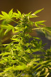 Cannabis Foto de Stock