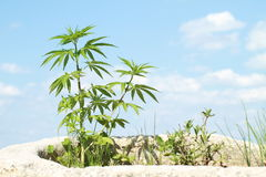 Cannabis. Green plant of cannabis with blue sky behind royalty free stock photography