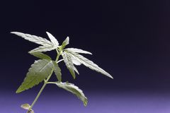 Cannabis. Seedling stock images