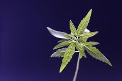 Cannabis Royalty Free Stock Images