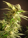 cannabis Stock Foto's
