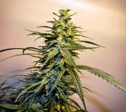 cannabis Stock Foto