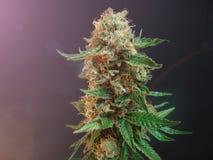 cannabis stock afbeelding