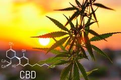 Cannabis av cannabidiolen för formel CBD Begrepp av att använda marijuana för medicinska avsikter arkivfoton