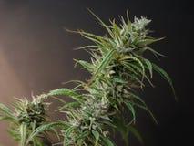 Cannabis Stock Photography