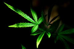 cannabis on a Black background royalty free stock photos