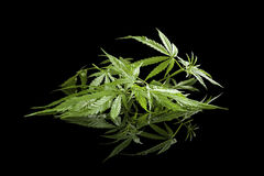 Cannabis on black. Stock Images