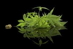 Cannabis on black. Royalty Free Stock Photo