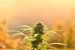 Cannabis bud, lit by warm early morning light stock images