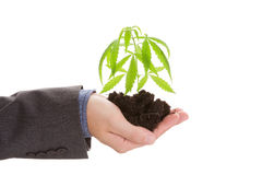 Cannabis business. Caucasian handsome man in suit hodling young cannabis plant with soil in his hand on white background. Drug dealer Royalty Free Stock Image