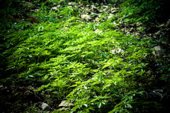 Cannabis crop. In National Park Chefchouaen, Morocco, Africa Royalty Free Stock Photography