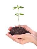 Cannabis de jeunes plantes sur des mains image libre de droits