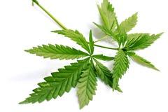 Cannabis della marijuana dell'erba immagine stock