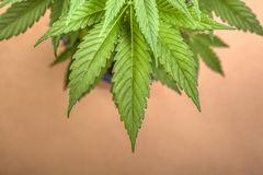 Cannabis Royalty Free Stock Photography