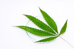 Cannabis Drugs, Analysis of Cannabis in laboratory. stock photo