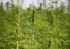 Cannabis field Royalty Free Stock Photography
