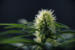 Cannabis flower - Blooming Marijuana plant with early white flow stock photo