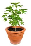Cannabis in a flower pot isolated on white Royalty Free Stock Photo