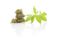 Cannabis foliage on white background. Alternative medic Royalty Free Stock Photo