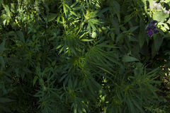Cannabis growing in the wild Royalty Free Stock Photography