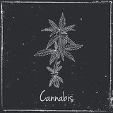 Cannabis herb. Herbs and spices Royalty Free Stock Photo