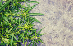 Cannabis herb and leaves for treatment Royalty Free Stock Photo
