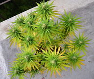 Cannabis i blomkruka Royaltyfria Bilder