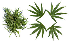 Cannabis illustration. The set of cannabis leaves isolate on white table Stock Photos