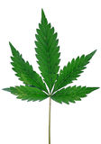 Cannabis indica plant leaf. Detail shot of cannabis indica plant leaf on white background Royalty Free Stock Photos