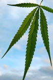 Cannabis indica texture on hand background. Stock Photos