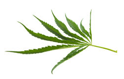 Cannabis isolated Stock Image