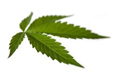 Cannabis leaf Stock Image