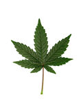 Cannabis leaf Stock Photos