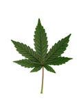 Cannabis leaf. Marijuana or cannabis leaf on a white studio background stock photos