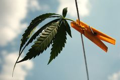 Cannabis leaf. Attached to a peg clothesline royalty free stock photos