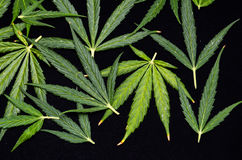 Cannabis Leaf Background Stock Photo