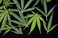 Cannabis Leaf Background Stock Photo