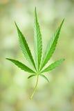 Cannabis leaf stock photos